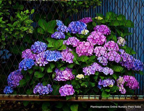Blue And Lavender Shade Gardens  Hydrangea Snow Teller