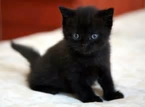 black cat breeds black cat green breed cats types