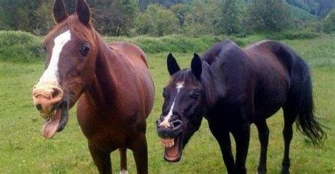 lachende pferde lustige bilder sprueche witze echt lustig