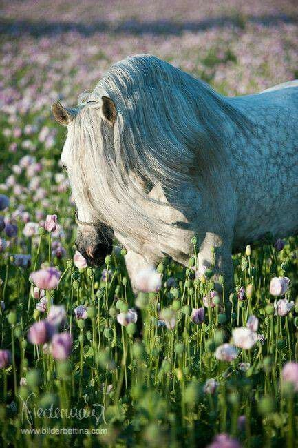 horse andalusian spanish breed pure thoroughbred niedermayr bettina horses