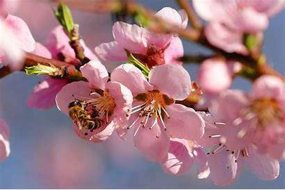 Spring Nature Season Cherry Wallpapers Blossoms Flowers