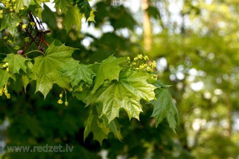 Kļava - Parastā kļava (Acer platanoides) - redzet.lv