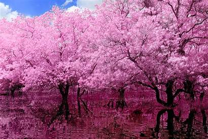 Pink Tree Reflection Wallpapers Helios Spada Backgrounds