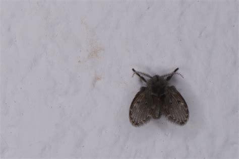 petites mouches cuisine psychodidae est ce seulement un diptère