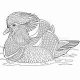 Duck Mandarin Coloring Stylized Zentangle Cartoon 800px Vector Adult Designlooter Isolated Hand Background 8kb Doodle sketch template