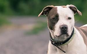 American Pit Bull Terrier Breed Info and Care