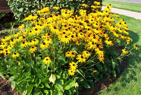 black eyed susan black eyed susan perennial