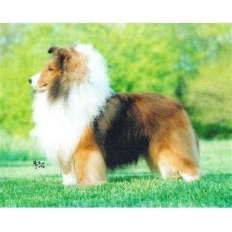 sheltie shedding in winter wintercreek shetland sheepdogs shetland sheepdog breeder