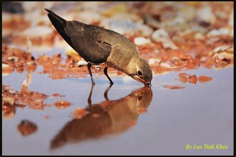 oriental pratincole drinking bird ecology study group