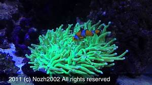 Clown Gardening Long Tentacle Plate Coral - YouTube