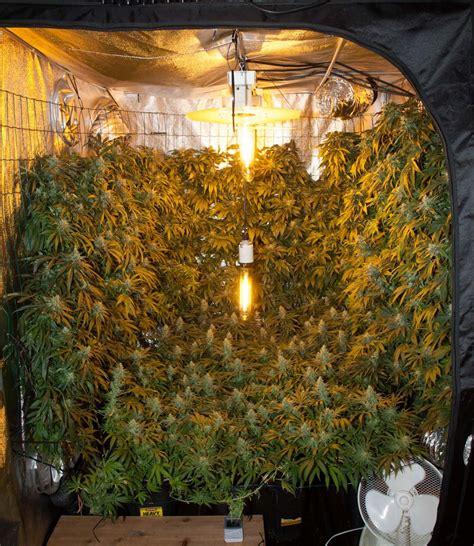 chambre culture cannabis optimale flächenausnutzung vertikal und horizontal scrog