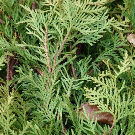 thuja hecke giftig thuja hecke am besten im fr 252 hjahr pflanzen