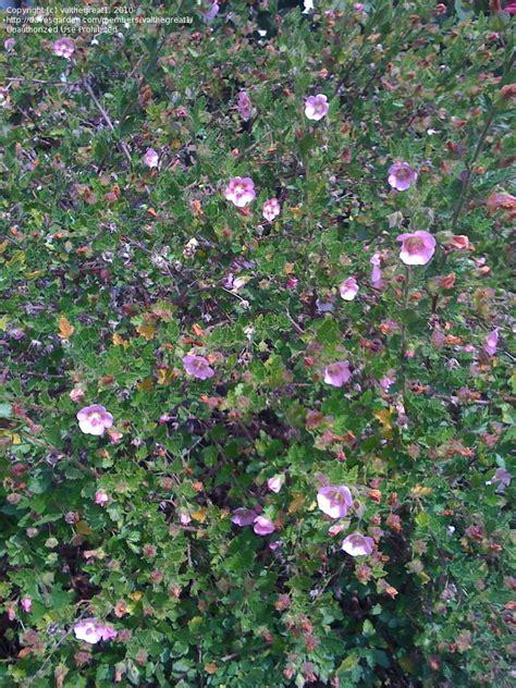 cape mallow plantfiles pictures cape mallow anisodontea x hypomandarum by valthegreat1