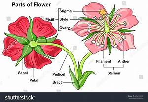 Flower Parts Diagram Front Back View Stock Vector 649610932