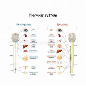 Parasympathetic System Stock Vector  Illustration Of