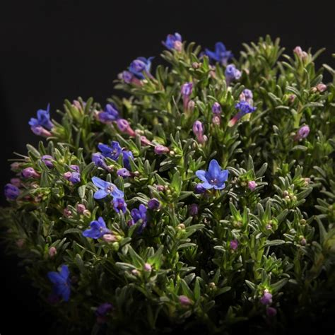 blau blühender bodendecker bodendecker lithodora heavenly blue blau pflanzen