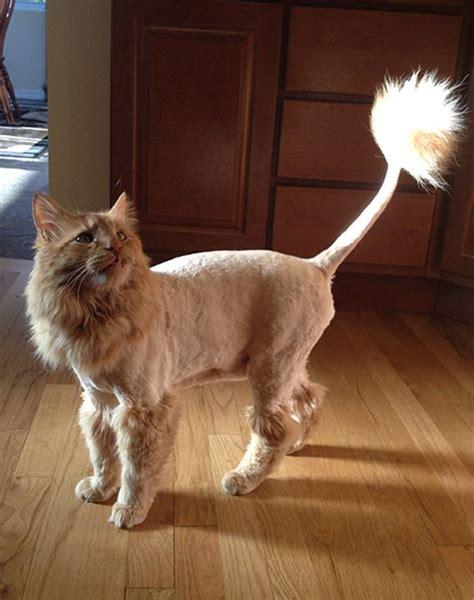 lion cut cats images  pinterest baby kittens