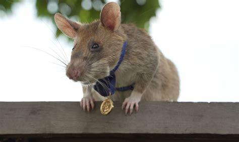 FOTO Milzu žurka tiek apbalvota ar medaļu par dzīvību glābšanu un mīnu meklēšanu - Dzīvnieki ...