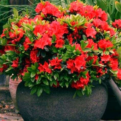 1 x azalea japanese evergreen shrub hardy garden plant in pot
