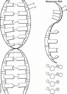 Dna The Double Helix Coloring Worksheet Key 1