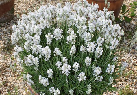 white lavender plants the lavender garden catalogue