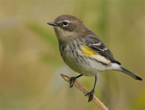 birds yellow rumped warbler