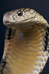King Cobra (Ophiophagus hannah) | about animals