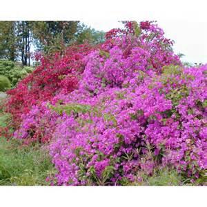 Purple Bougainvillea Vines