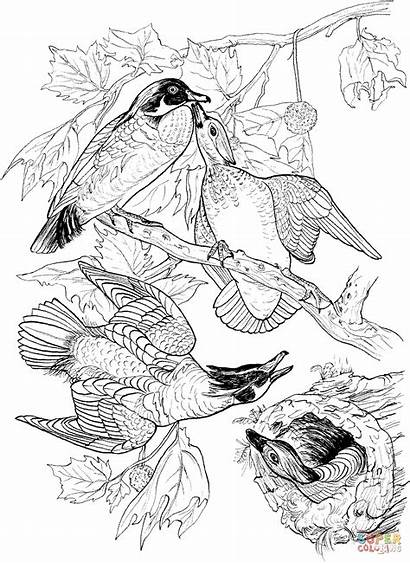 Coloring Ducks Wood Pages Printable Drawing Clipart
