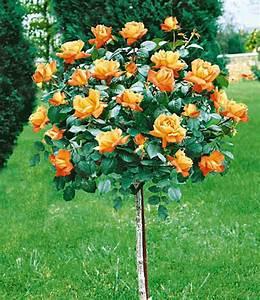 rosen stammchen maja oetkerr 1a qualitat baldur garten With französischer balkon mit www baldur garten de rosen
