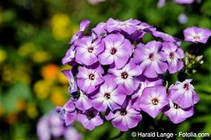 Blumen Winterhart Mehrjährig : phlox pflege pflanzen d ngen schnitt ~ Whattoseeinmadrid.com Haus und Dekorationen