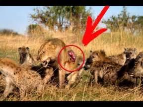 YouTube Lions vs Hyenas