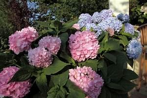 Sind Hortensien Winterhart : hortensien im k bel welche hortensien k nnen sie im k bel ~ Lizthompson.info Haus und Dekorationen