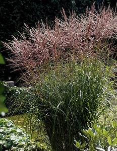 MISCANTHUS – sinensis 'Nippon' / Nippon Japanese Silver ...