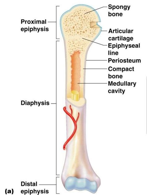 What Is The Shaft Of A Long Bone Called? Quora