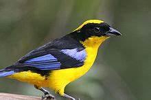 Oiseau Jaune Et Bleu : tangara oiseau wikip dia ~ Melissatoandfro.com Idées de Décoration
