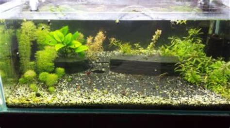 aquarium crevette cherry crevettes cherry et combattant