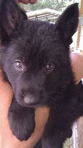 oh my! All black German Shepard puppy. Looks just like my ...