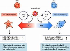 M1 And M2 Polarization Of Macro Phages  Pro