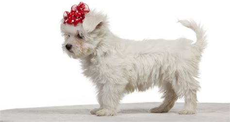 What Breed Of Doesnt Shed by 10 Most Popular Breeds That Don T Shed We Puppies