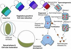 The Life Cycle Of A Centric Diatom  The Average Cell Size