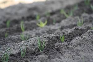Repiquer Des Oignons : planter des oignons quand et comment faire la plantation des oignons ~ Voncanada.com Idées de Décoration