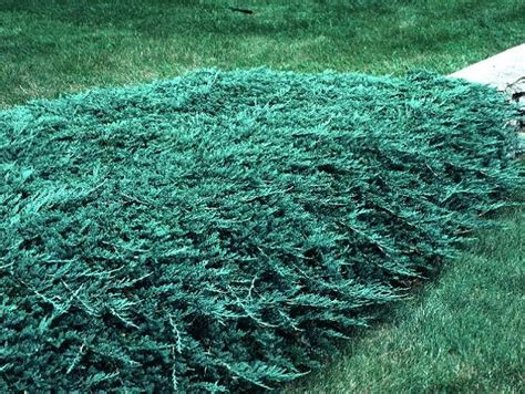 blue rug juniper for juniper gammon s garden center landscape nursery