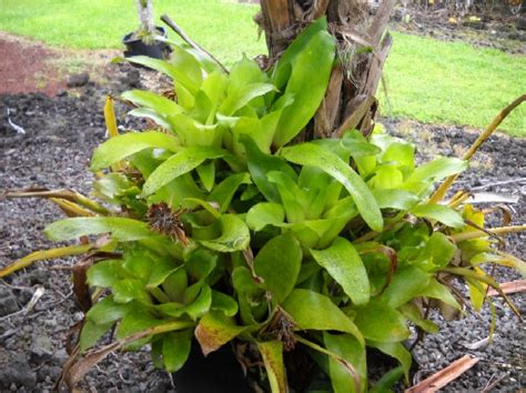 different types of bromeliads with pictures types of bromeliads