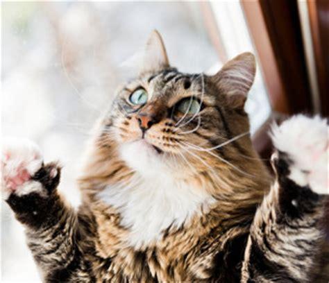 fiv positive cat adoption   vet recommends