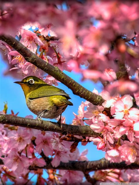 japanese white eye hiding  sakura ultra hd desktop