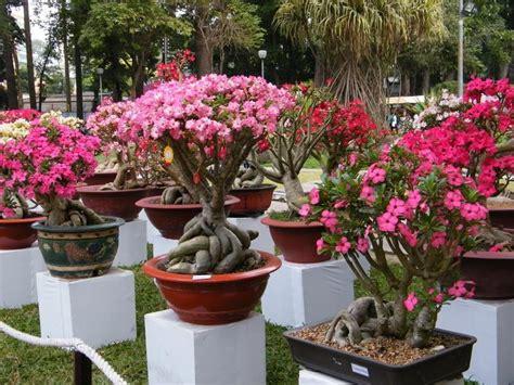 bonsai adenium kamboja jepang centralbonsaicom