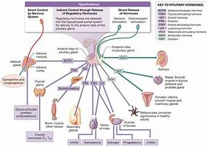 18 3  The Anterior Lobe Of The Pituitary Gland Produces
