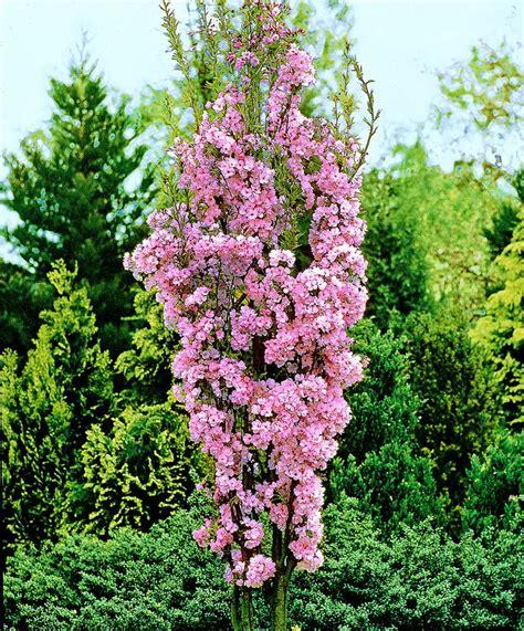 japanese flowering cherry tree prunus serrulata amanogawa columnar japanese cherry tree gardens flower fields