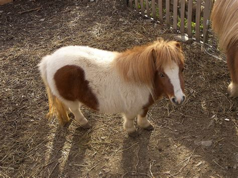 pony dwarf horse horses animals equine wallpapers hd cepolina nature baby prev want